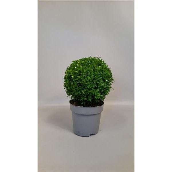buchsbaum kugel 17 cm buxus sempervirens blumen senf. Black Bedroom Furniture Sets. Home Design Ideas